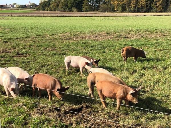 Schweine_gerade